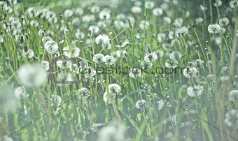Beautiful white dandelion with seeds on green background