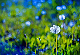 Beautiful white dandelion with seeds on blue green background