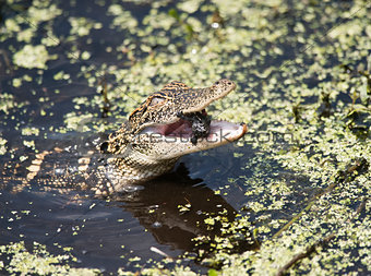 Baby American Alligator feeding