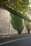 Ivy on roadside wall.