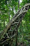 Strangler vine in forest.