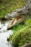 Crocodile opening mouth.