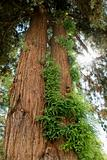 Redwood sequoia with growth.