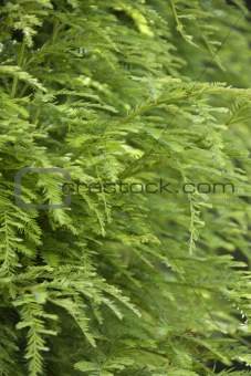 Greenery on Redwood tree