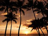 Maui palm trees at sunset.