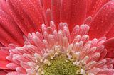 Macro Pink Gerber Daisy with Water Drops