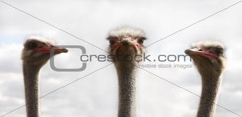 Three ostrichs