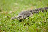 Goanna in the grass
