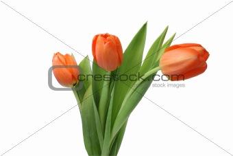 Three isolated tulips