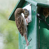 Adult sparrow feeding a young sparrow