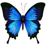 Blue butterfly papilio ulysses.