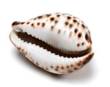 Shell of Cypraea tigris on white