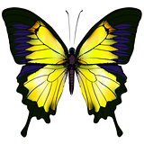 Butterfly. Yellow isolated illustration