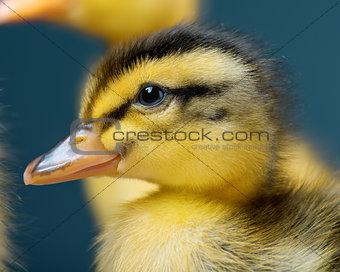 Portrait of newborn duckling