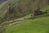 Herd of sheeps in mountains on Georgia, Caucasus