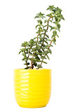 Small fresh green succulent in a little yellow pot