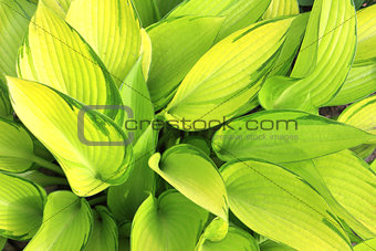 Green leaves of a hosta