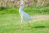 Cattle egret walking in a rural garden
