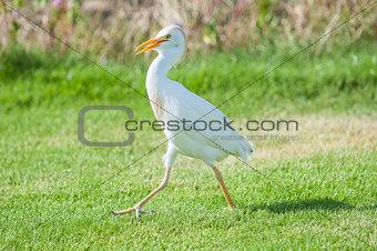 Cattle egret walking in a rural garden