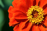 Orange and Yellow Zinnia Flower