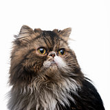 The Persian cat dark isolated