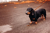 Black Dachshund in the Street