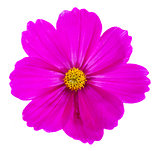 Cosmos pink flowers