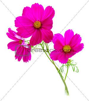Cosmos pink flowers