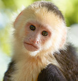portrait of white headed capuchin monkey