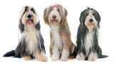three bearded collie