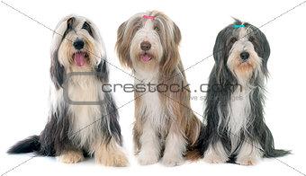 three bearded collie
