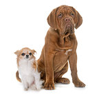 puppy Dogue de Bordeaux and chihuahua