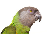 Senegal parrot in studio