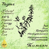 Vector hand drawn thyme illustration. Botanical drawing. Pencil drawing.