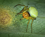 Spider Arachnita protecting its nest