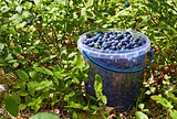 Bucket with blueberries