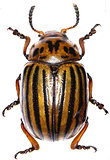 Potato beetle on white Background