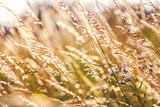 Golden Grain of Wild wheat on sunrise close up
