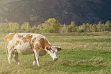 Grazing cow in mountain ranch