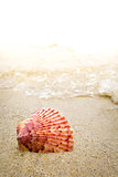 Colorful Shell in the Surf at the Beach