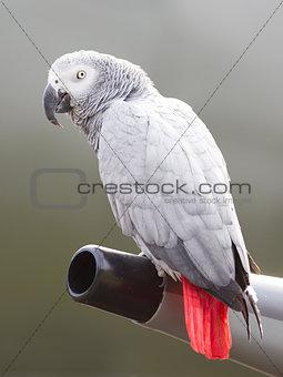 African Grey Parrot (Psittacus erithacus)