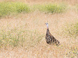 Wild Turkey Female
