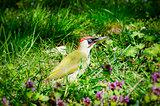 Yaffle Bird