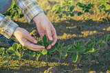 Female farmer's hands in soybean field, responsible farming