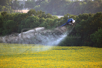 Agricultural works. Helicopter flying and spraying above sunflow