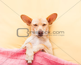 sleeping chihuahua dog