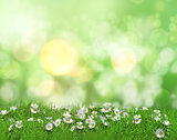 3D daisies in grass against a defocussed background