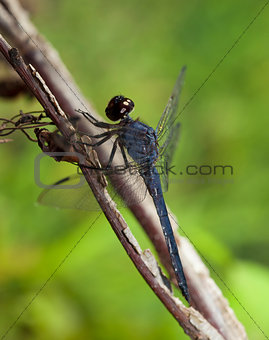 Climbing dragonfly