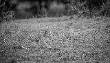 Walking baby Leopard in black and white.