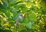 Spotted Flycatcher Muscicapa striata .Wild bird in a natural habitat. Russia, the Siberian region